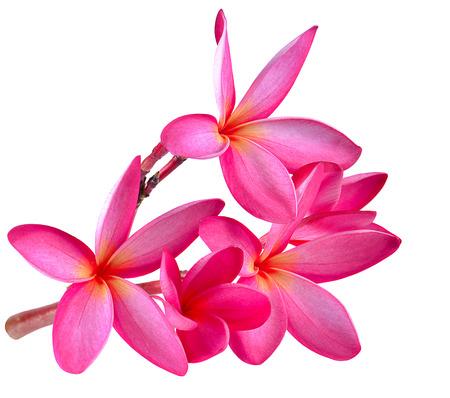 tahitian: frangipani flower isolated on white background