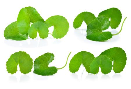 Centella asiatica isolated on white background