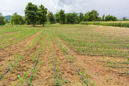 maize cultivation: corn field with water system Stock Photo