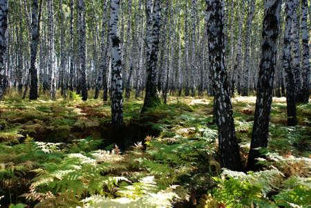 brich: Brich grove and fern