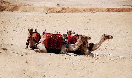 Rest camel in desert photo