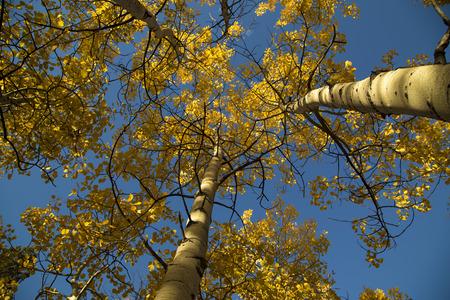 quaking aspen: Looking up at yellow autumn quaking aspens