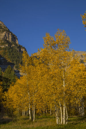 beautiful mountain meadow with autumn yellow aspens