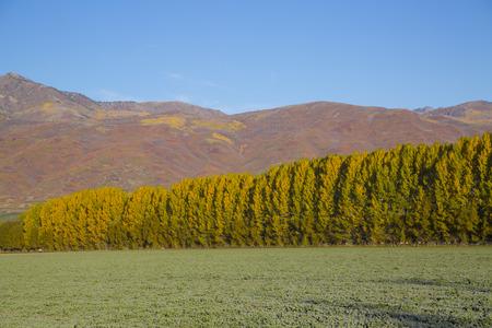 quaking aspen: Morning fall frost yellow poplars orange mountains Stock Photo