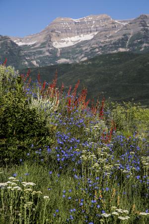 wasatch: Wild flower scene Rocky Mountain vertical landscape