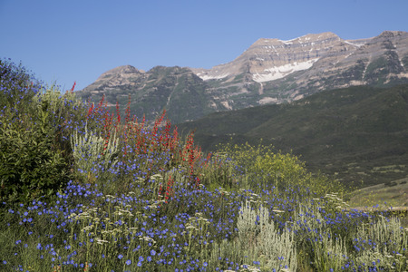 Wildflowers in beautiful Rocky Mountain scene Timpanogos