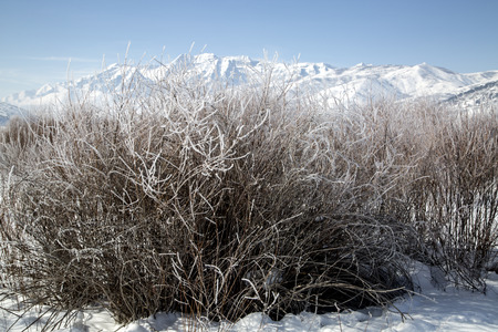 wasatch: Bushes frosted in snowy winter mountain landscape