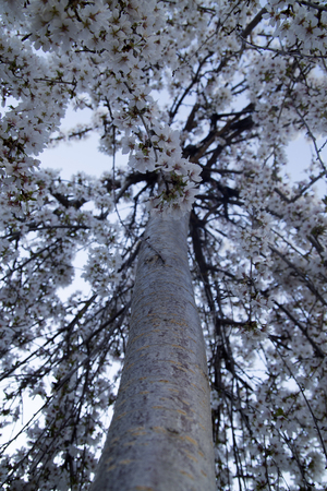 hayfever: Vertical picture of weeping cherry tree blooming