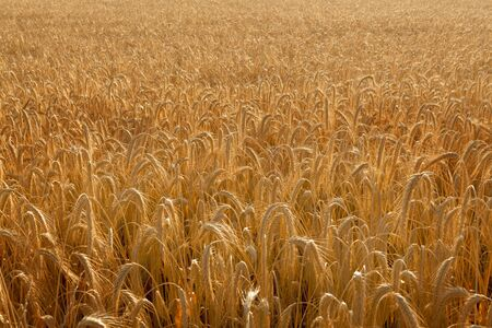 backlite: Picture fill with a backlite wheat field