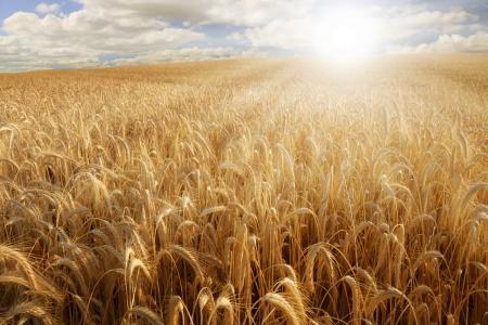 sun bathing: Sun bathing a golden wheat field Stock Photo