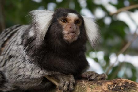 marmoset: Marmoset Monkey Stock Photo