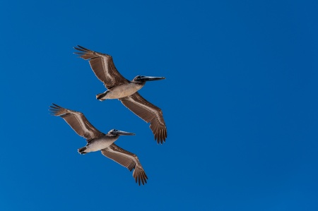 Two pelicans flying in formation and a blue sky photo