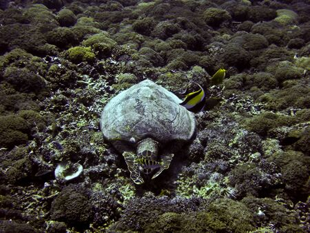 Green sea turtle underwater on Gili Trawangan, Indonesia photo