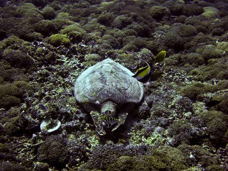Green sea turtle underwater on Gili Trawangan, Indonesia photo