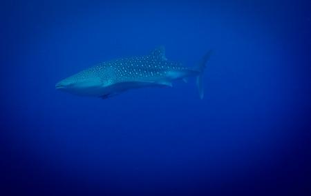 whale shark: Whale shark in sea water