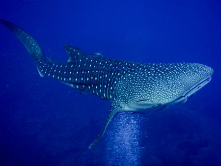 Whale shark in sea water