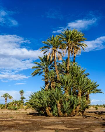 protected tree: Palm tree in the UNESCO protected Palmeraie of Skoura, Morocco