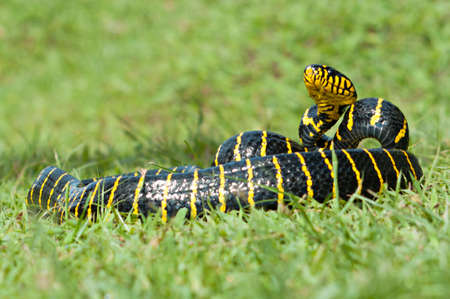 Boiga dendrophila, commonly called the mangrove snake or the gold-ringed cat snake, is a species of rear-fanged snake in the family Colubridae. The species is endemic to southeast Asia. It is one of t