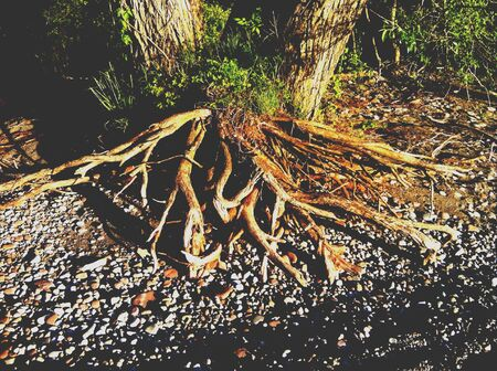 Tree with Exposed Roots 版權商用圖片