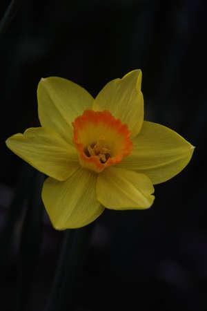 Beautiful Yellow and Orange Daffodil on Black Background