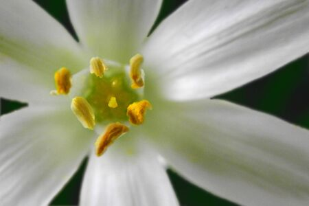 This White Rain Lily displays a very colorful array of exottice appearing reproductive parts   The flower Stok Fotoğraf