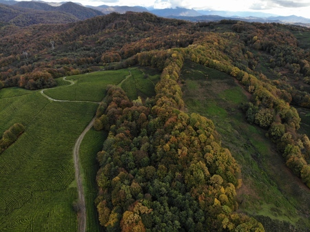 Drone areal view of the tea plantations in the mountains. Autumn