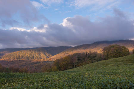 panoramic view of the tea plantations in the mountains. Against the background of a blue sky. Autumn
