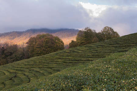 panoramic view of the tea plantations in the mountains. Against the background of a stormy sky. Autumn