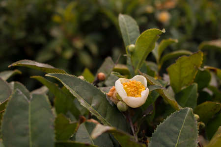 Close-up of Jasmin flowers. Tea plants in bloom. Chinese tea plantation Standard-Bild