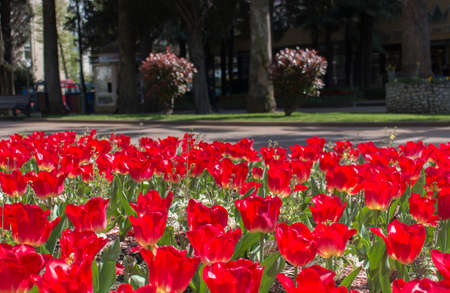 red tulips flowerbed in the city center Standard-Bild