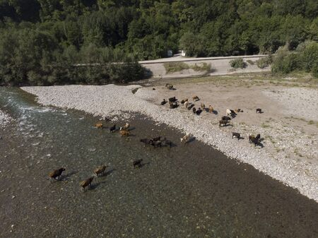 Aerial view of the herd of cows near with river. Drone photo of plein air of river and green field with herd of cows