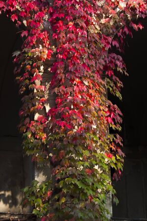 Stone arch entrance wall with red ivy. autumn colors. building with Gothic style