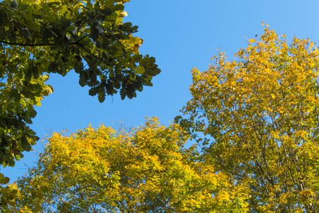 A very tree sporting autumn foliage stands against a blue sky on a sunny autumn day. Фото со стока