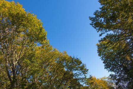 Green oak leaves and yellow leaves maple against blue sky