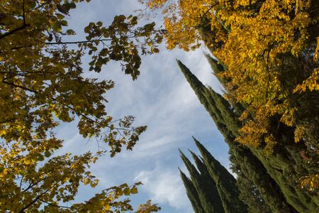 Branches of cypress and maples against the blue sky. Bottom view. autumn