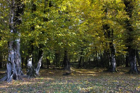 Autumn forest scenery with fall leaves warm light illumining the gold foliage. Footpath in scene autumn forest nature. Standard-Bild