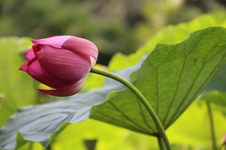 Small lotus pointed sharp angle