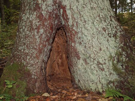 hollow:   Hollow in the old spruce tree in autumn forest