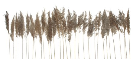 Spikes of dry grass isolated on white background.