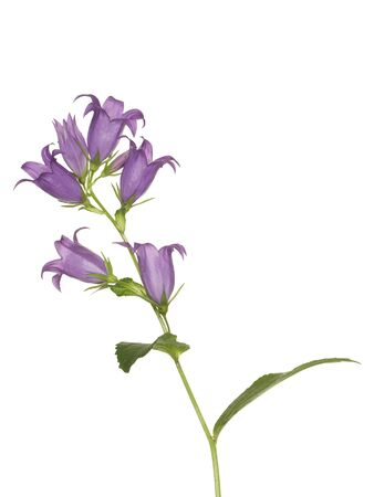 Bluebell flower, isolated on a white background