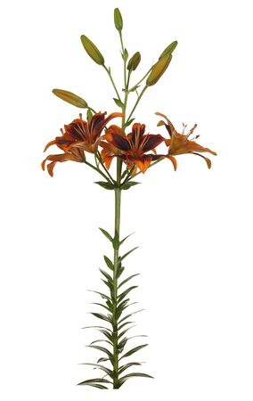 Flower of a brown lily with green leaves and unblown buds isolated on a white background.