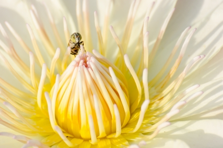 Lotus flower with yellow fly Stock Photo - 16437690