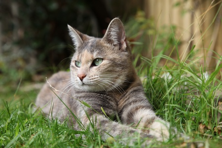 rare silver classic tortoiseshell tabby cat sunning herself in the garden photo