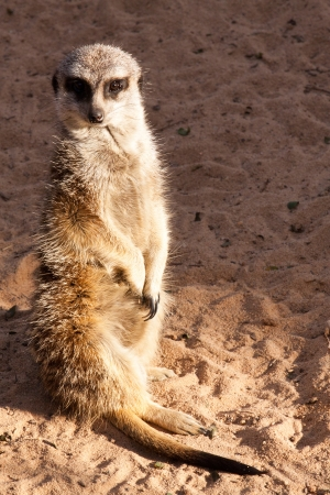 sentry: Meerkat standing sentry watches for dangers to the family group