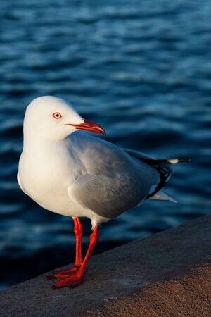 water s: Chroicocephalus novaehollandiae, the Australian seagull, by the water s edge Stock Photo