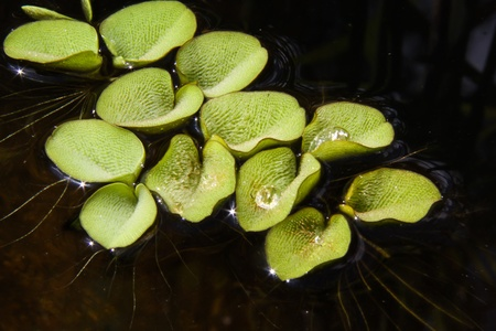 salvinia: Salvinia natans, or Water Butterfly Wings, covered in water droplets reflecting the sunlight while floating in a pond