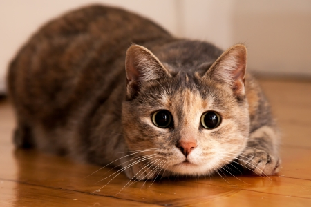 Tortoiseshell-tabby cat prepares to jump onto something she is stalking Stock Photo