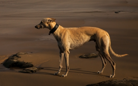 Wet beige greyhound enjoying the Australian beach photo