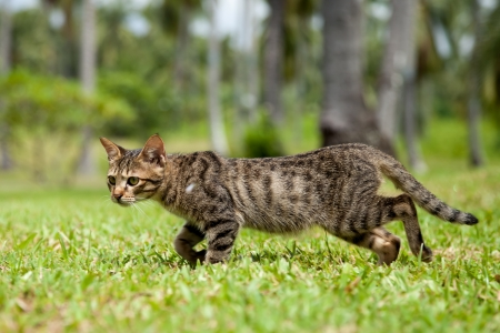 Stray cat in the Philippines walking quickly through the long grass of a resort