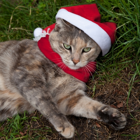 bah: Tortoiseshell-Tabby  Torbie  Cat looking festive in a Christmas Santa hat and scarf
